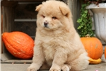 Picture of Goldie - Chow Chow Female