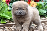 Picture of Parker - Chow Chow Male