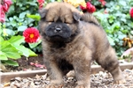 Picture of Philly - Chow Chow Male