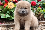 Picture of Paws - Chow Chow Male