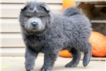 Picture of Midnight - Chow Chow Male
