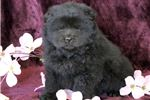 Picture of Midnight - Chow Chow Female