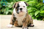 Picture of Percy - English Bulldog Male