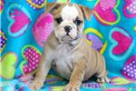 Picture of Abby - English Bulldog Female