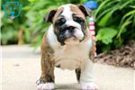 Picture of Paul - English Bulldog Male