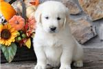 Picture of Chase - English Cream Golden Male