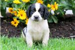 Picture of Charlie Brown - English Springer Spaniel