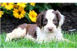 Picture of Chuckie - English Springer Spaniel Male