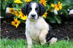 Picture of Cuddles - English Springer Spaniel Female