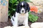 Picture of Lizzy - English Springer Spaniel Female