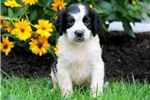 Picture of CJ - English Springer Spaniel Male