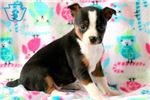 Picture of Star - Fox Terrier Female