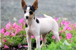 Picture of Dewie - Toy Fox Terrier Male