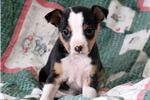 Picture of Jewels - Fox Terrier Female