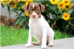 Picture of Annie - Toy Fox Terrier Female