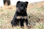 Picture of Hunter - German Shepherd Male