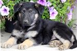 Picture of Reba - German Shepherd Female