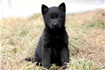 Picture of a German Pinscher Puppy