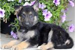 Picture of Reeses - German Shepherd Female