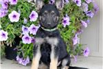 Picture of Rain - German Shepherd Female