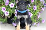 Picture of Rosa - German Shepherd Female