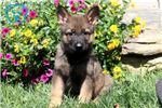 German Shepherd Puppies for Sale from Springfield, Illinois