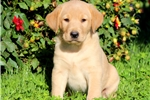 Picture of Sarge - Golden Lab Male