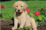 Picture of Marabell - Golden Lab Female