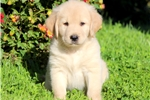 Picture of Samson - Golden Lab Male