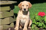 Picture of Muffin - Golden Lab Female