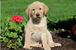 Picture of Moses - Golden Lab Male