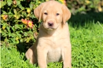 Picture of Serenity - Golden Lab Female