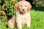 Picture of Summer - Golden Lab Female