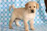 Picture of Peanut - Golden Lab Male