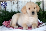 Picture of a Goldador Puppy