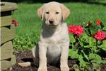 Picture of Mya - Golden Lab Female