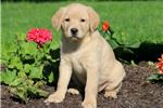 Picture of Mitsy - Golden Lab Female