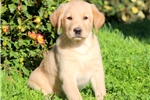 Picture of Sparky - Golden Lab Male