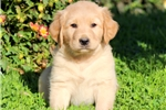 Picture of Scoop - Golden Lab Male