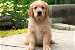 Picture of Scrappy - Golden Retriever Male
