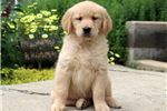Picture of Sandy - Golden Retriever Female