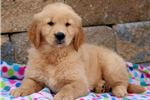 Picture of Scout - Golden Retriever Male