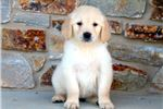 Golden Retriever for sale