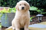 Picture of Trooper - Golden Retriever Male