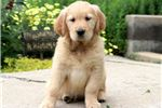 Picture of Sweetie - Golden Retriever Female