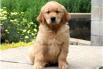 Picture of Spike - Golden Retriever Male
