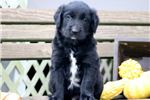 Picture of Taz - Golden Retriever Mix Male