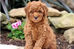 Picture of Reeses - F1b Mini Goldendoodle Female