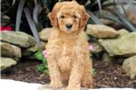 Picture of Regina - F1b Mini Goldendoodle Female