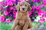 Irish Setter for sale